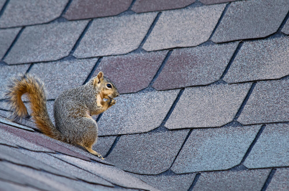 Six Things to Know About Removing Squirrels from Your Roof