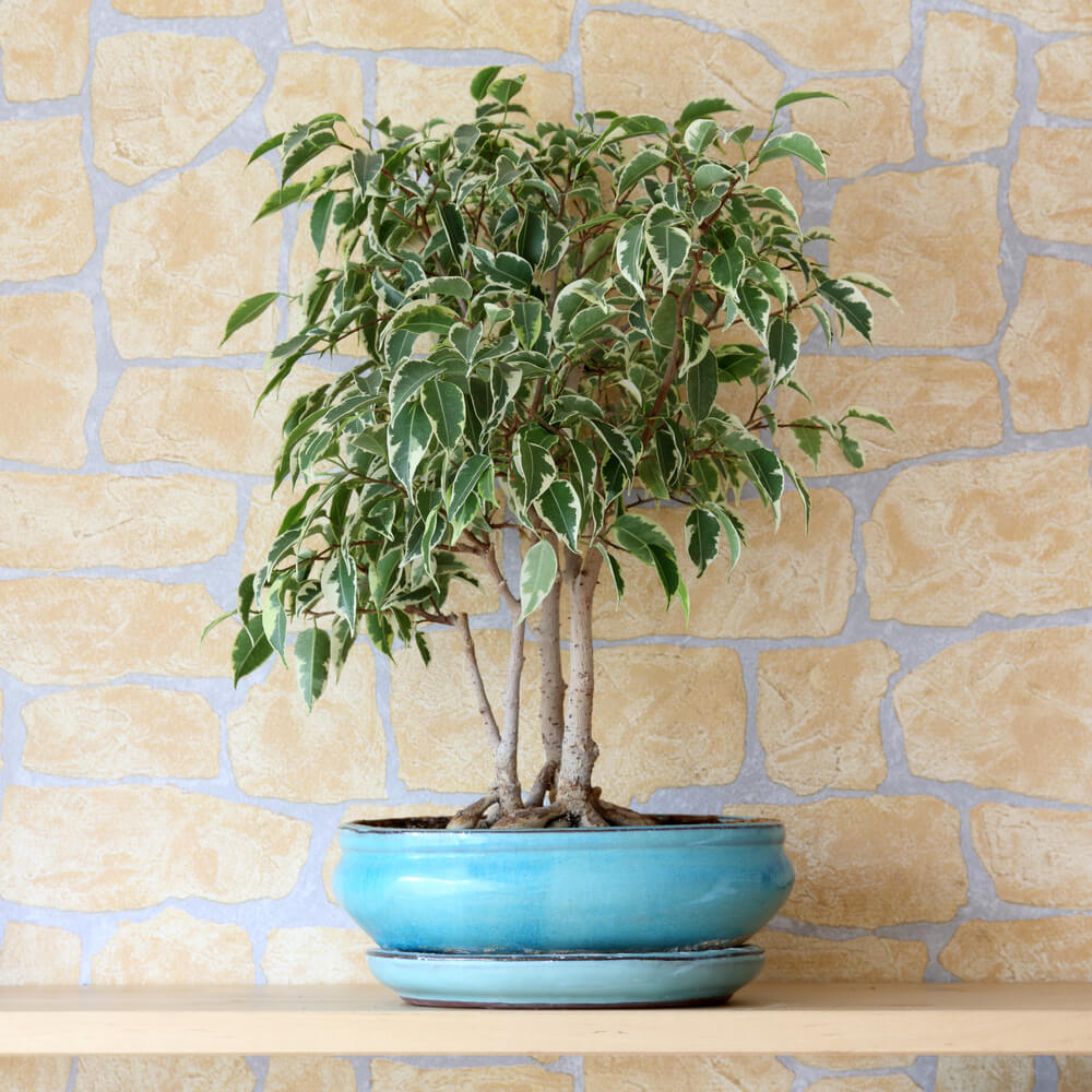 What Is a Ficus Tree?
